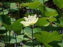 Plan rapproché de Lotus blanc dans l'étang Images stock