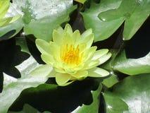 Plan rapproché de lotus jaune Nucifera latin de Nelumbo de nom photos stock