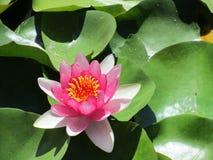 Plan rapproché de lotus rose Nucifera de Nelumbo photo stock
