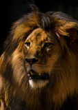 Plan rapproché de mâle de lion Photos stock