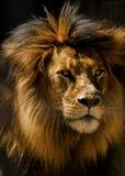 Plan rapproché de mâle de lion Images libres de droits
