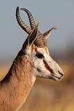 Plan rapproché de mâle de springbok Photo stock