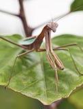 Plan rapproché de Mantis de prière Photo stock