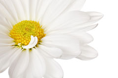Plan rapproché de marguerite blanche photographie stock
