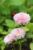 Plan rapproché de marguerite de jardin Photographie stock libre de droits