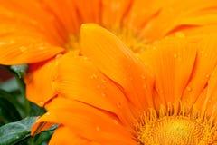 Plan rapproché de marguerite orange avec des gouttelettes d'eau Photographie stock libre de droits