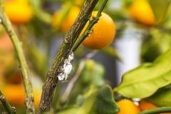 Plan rapproché de mealybug de parasite sur l'arbre d'agrume Photos libres de droits