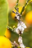 Plan rapproché de mealybug de parasite sur l'arbre d'agrume Images libres de droits