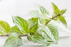 Plan rapproché de menthe poivrée dans des couleurs lumineuses Photographie stock