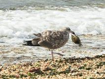 Plan rapproché de mouette d'harengs juvénile qui a attrapé un crabe en Sandy Hook New Jersey Images libres de droits