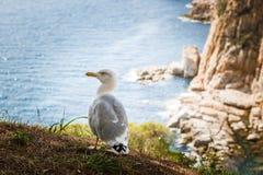 Plan rapproché de mouette - une vue en gros plan d'une mouette se tenant sur une roche de bord de la mer et tournant sa tête vers Photos stock