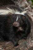 Plan rapproché de mouffette rayée (mephitis de Mephitis) photos libres de droits