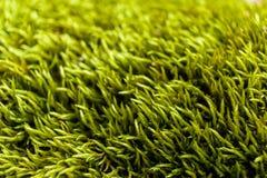 Plan rapproché de mousse pelucheuse verte Image libre de droits