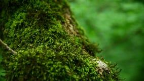 Plan rapproché de mousse verte épaisse dans la forêt sur un tronc d'arbre épais Vert saturé Regarder l'appareil-photo clips vidéos