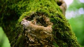Plan rapproché de mousse verte épaisse dans la forêt sur un tronc d'arbre épais Vert saturé Regarder l'appareil-photo banque de vidéos