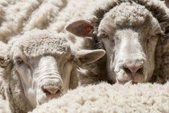 Plan rapproché de moutons - Puerto Madryn - Argentine Photographie stock libre de droits