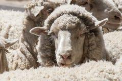 Plan rapproché de moutons - Puerto Madryn - Argentine Photos libres de droits