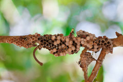 Plan rapproché de nid de guêpe Image stock