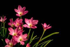 Plan rapproché de pâle - fleur rose d'amaryllis sur le fond noir avec photos libres de droits