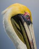 Plan rapproché de pélican brun américain dans le plumage coloré d'élevage Photo libre de droits