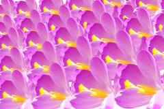 Plan rapproché de pétale de fleur de crocus Photographie stock libre de droits