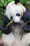 Plan rapproché de panda géant Images libres de droits