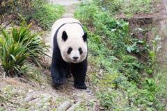 Plan rapproché de panda géant dans le zoo Photo stock