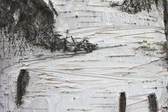 Plan rapproché de papier de fond naturel de texture d'écorce de bouleau Photographie stock