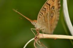 Plan rapproché de papillon image libre de droits