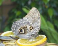 Plan rapproché de papillon Photographie stock libre de droits