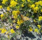 Plan rapproché de papillon de bardane sur de petits wildflowers jaunes images stock