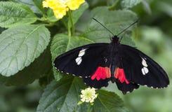 Plan rapproché de papillon noir et rouge photo libre de droits