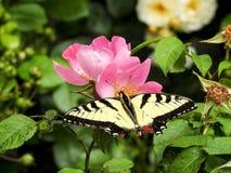 Plan rapproché de papillon oriental de machaon Image libre de droits