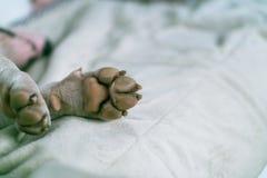 Plan rapproché de patte de chien La patte du bull-terrier blanc sur le tapis Macro de la patte blanche de chien photographie stock libre de droits