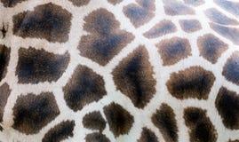Plan rapproché de peau de girafe, modèle de nature, fond photo stock