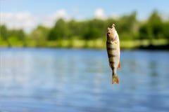Plan rapproché de perche lumineuse sur l'hameçon avec le ver sur la ligne de pêche Horizontal normal Fortune de concept, finances Images libres de droits