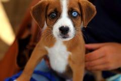 Plan rapproché de petit chien bronzage et blanc aux yeux impairs de mélangé-race Photo libre de droits