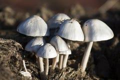 Plan rapproché de petits champignons blancs s'élevant sur le fumier Photo stock