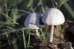 Plan rapproché de petits champignons blancs s'élevant sur le fumier Images libres de droits