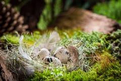 Plan rapproché de petits oeufs pour Pâques dans la forêt au lever de soleil Image stock