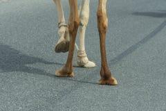 Plan rapproché de pieds de chameau comme il traverse la rue en Ras al Khaimah, Emirats Arabes Unis images stock