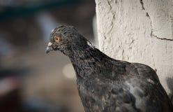 Plan rapproché de pigeon Images libres de droits