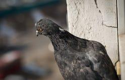 Plan rapproché de pigeon Photos libres de droits