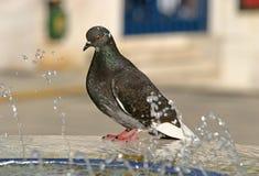 Plan rapproché de pigeon Photo libre de droits