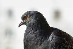 Plan rapproché de pigeon Image libre de droits