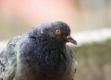 Plan rapproché de pigeon Images stock