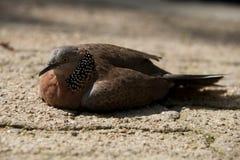 Plan rapproché de pigeon chiné sur la terre arénacée Photos stock