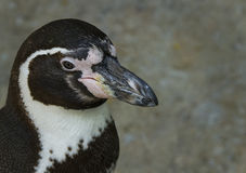 Plan rapproché de pingouin Photographie stock libre de droits