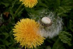 Plan rapproché de pissenlit herbe Photographie stock