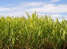Plan rapproché de plantation de canne à sucre utilisé dans le combustible organique image libre de droits